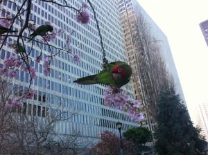 wild-parrot